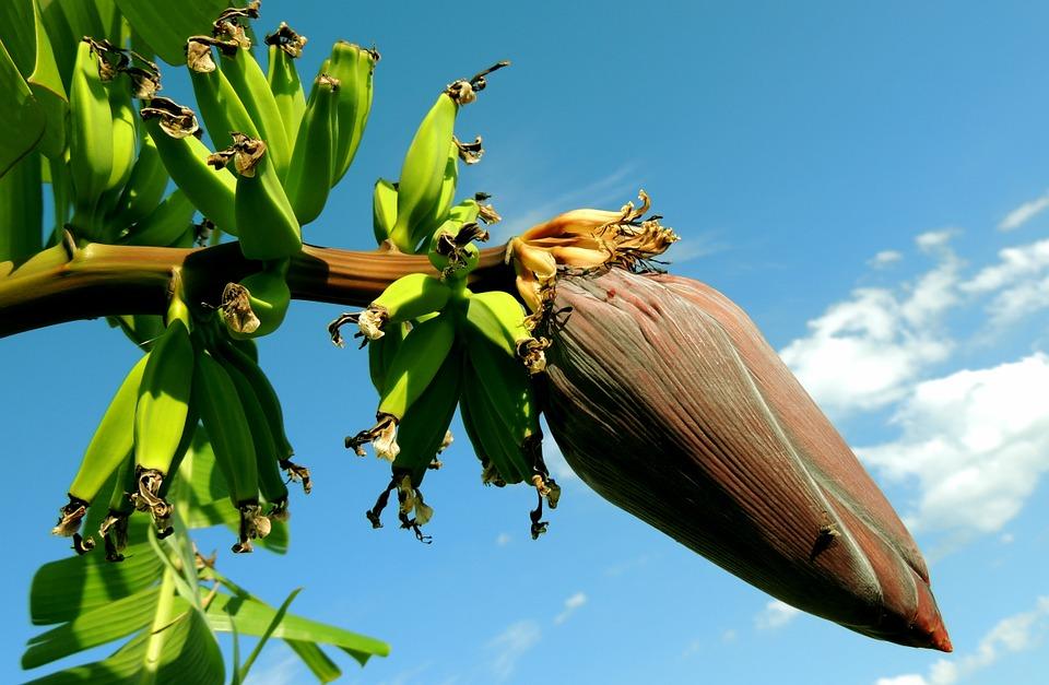 La banane et la banane plantain
