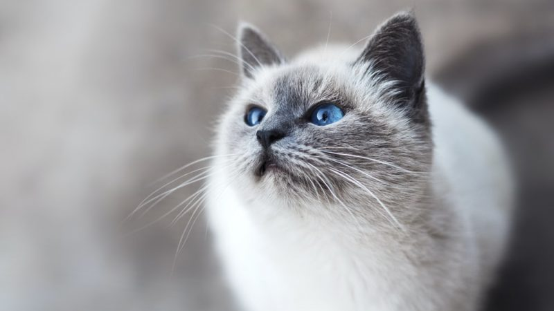 Le collier GPS, un véritable accessoire de localisation de votre chat